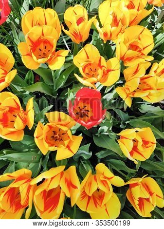 Colorful Yellow With Red Tulips Flowers Field, Natural Spring Background.