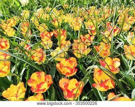 Colorful Bright Yellow And Red Tulips Flowers Field, Natural Spring Background. Netherlands.