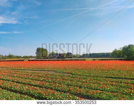 Colorful Red Tulips Fields In Holland, Spring Season. Netherlands.