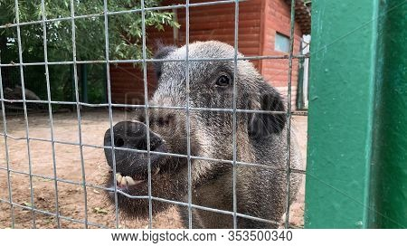 Farm Animals Begging For Food, Hungry Hog Boar Asking For Food Through A Metal Fence Close Up