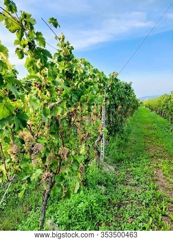 Rows Of Golden Grape At Vineyard. Italy.