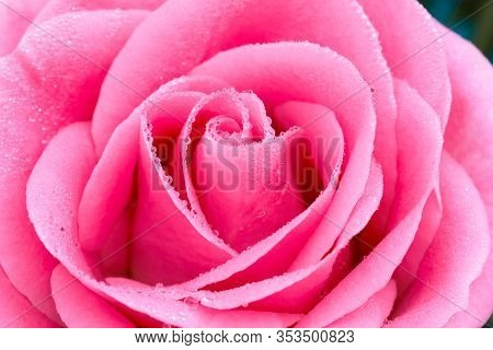 Closeup Of Rose Flower With Water Drops, Soft Focus.
