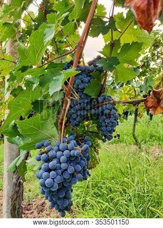 Black Grape At Vineyard, Selective Focus. Italy