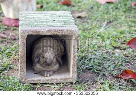 Cute Domestic Rabbit On Green Grass In Farm