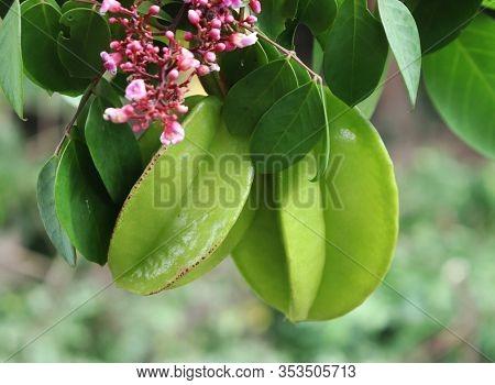 Green Star Fruit On The Tree. Averrhoa Carambola, Star Apple