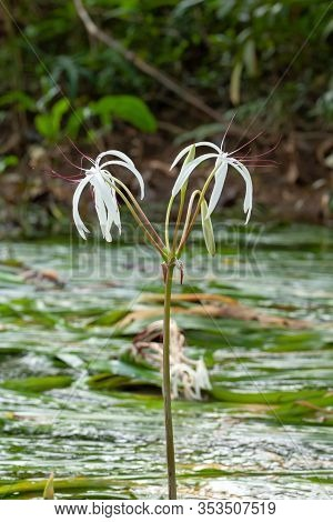 Rare Crinum Thaianum Or Water Lily, Onion Plant, Thai Water Onion Or Water Onion Are Blooming At Khu
