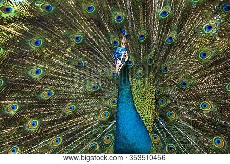 Portrait Of Beautiful Male Peacock On Background Of His Colourful Dissolved Open Tail. Gorgeous Exot