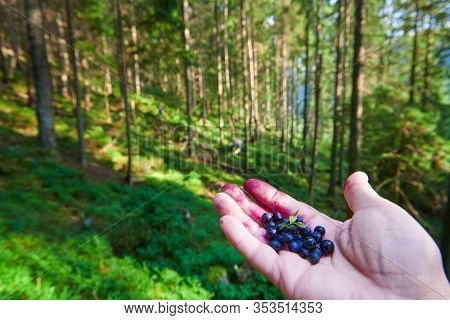 picking wild berries in the forest, hand with a handful of blueberry, wild nature, beautiful landscape in carpathian mountains, spruces on hills