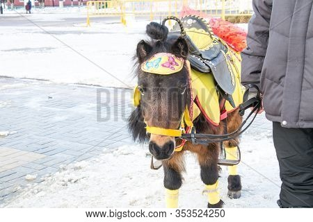 Brown Pony With A Black Saddle And A Yellow Cape. Mockery Exploitation And Abuse Of Animals. Man Hol
