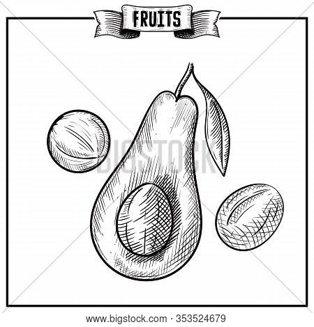 Highly Detailed Botanical Hand Drawn Ink Vector Artwork Of Isolated Fruit. Persea Americana, Avocado