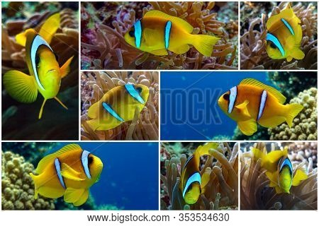 Collage - Set Of  - Tropical Clown Fish