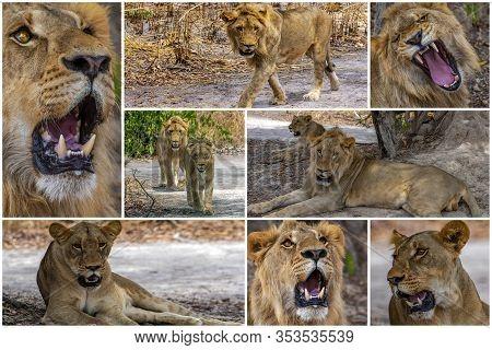 Collage - Set Of Lion, Africa. Wild Animal