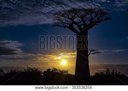 Baobab Trees, Baobabs Forest - Baobab Alley, Morondava, Madagascar.sunset.