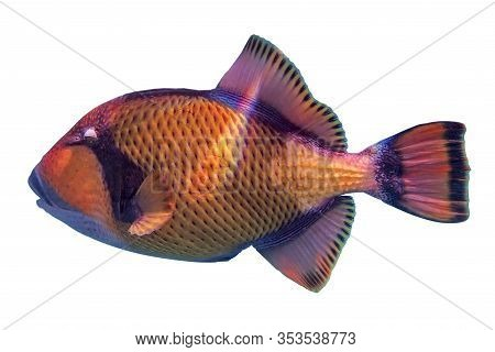Titan Triggerfish (balistoides Viridescens) On White Background