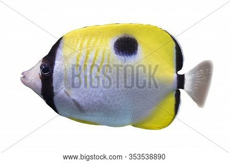 The Teardrop Butterflyfish Chaetodon Unimaculatus - Tropical Coral Fish. Isolated On White Backgroun