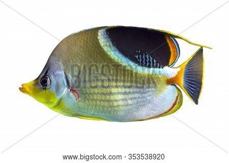 The Saddle Butterflyfish, Chaetodon Ephippium, Coral Fish Isolated On White Background