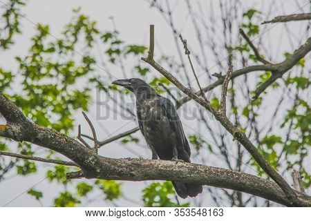 Crow Sitting On The Branch. Gray Sky And Green Leaves On The Background. Springtime