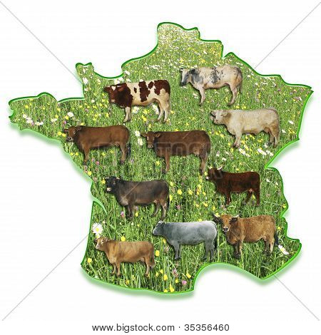 Cows On A Map Of France