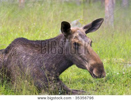Closeup portrait of a moose cow