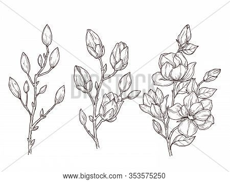 Magnolia Sketch. Art Floral Blossom Branch And Flowers Bunch. Drawing Romantic Spring Plants, Nature