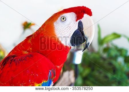 Portrait Of Big Beautiful Red Parrot Inside Home, Indoors. Close Up Profile Photo Of Pet, Domestic A