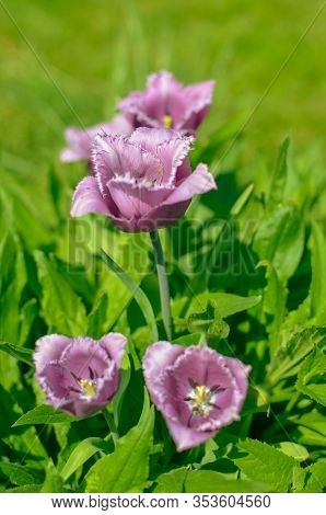 Spring Display Of Purple And White Fringed Tulips Tulipa Cummins In Ukraine