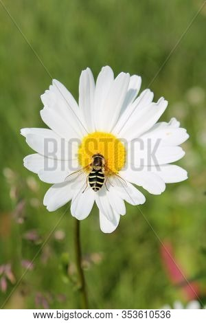 Picture Of Hoverfly Sitting On Oxeye Daisy Herb. Leucanthemum Vulgare Flower Of The Asteraceae Plant