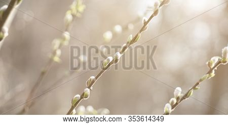 Spring Nature Scene With Pussy Willow Branches, Soft Focus. Blossoming Fresh Willow Branch Macro In
