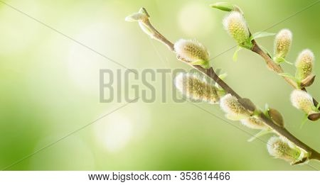 Spring Nature Background With Pussy Willow Branches. Blossoming Fresh Willow Branches Macro In Sunny