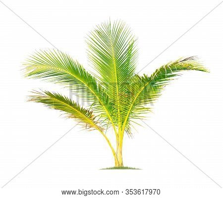 Isolated Coconut Tree On White Background Low-cost Coconut Trees Are The Economic Crops Of Thailand,