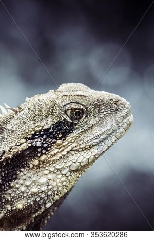 Water Dragon In Close Up In Eastern Australia