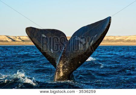 Right whale in Puerto Piramides Peninsula Valdes Patagonia Argentina. poster