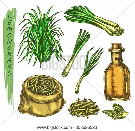 Set Of Colorful Sketches Of Lemongrass Plant