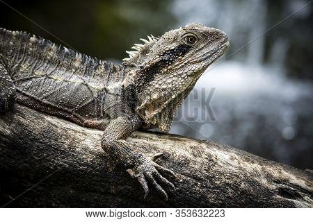 Water Dragon Basking On Tree Trunk In Queensland