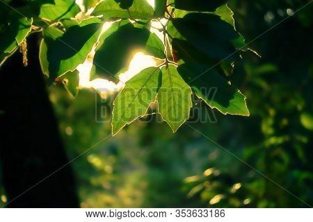 leaves oak holm backlit in Etna Park, Sicily