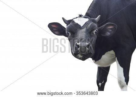 Funny Cute Black Cow Portrait Isolated On White Background. Looking At The Camera Black Curious Cow