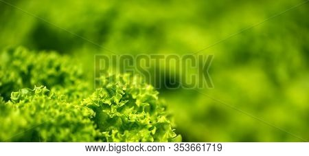 Grow Salad In Greenhouse Pure Eco Frendly Agriculture. Fresh Natural Organic Product
