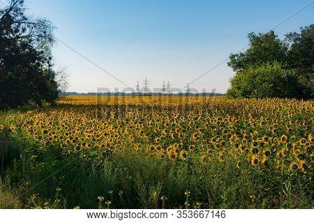 Sunflowers Field. Summer Harvest. Sunflower Seeds. Green Leaves. Clear Blue Sky.
