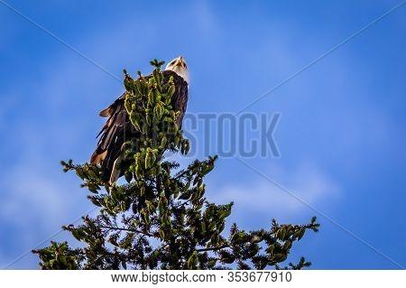 American Bald Eagle Perching At Tree Top