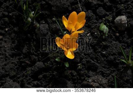 Dutch Yellow Crocus Closeup. Primroses Flowering Crocus. Crocus On The Ground. Spring, First Flowers