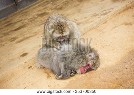 Iwatayama Monkey Park In Kyoto. Japan Tourist Attraction. Monkey Cleaning Another Monkey. Animal Wil