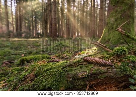 Light Scene At A Mossy Forest, Sun Is Shining At A Pinecone.