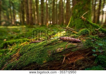 Mossy Forest With Focus At A Pinecone.
