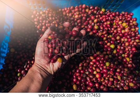 Red Coffee Beans In Farmer Hand On Basket.