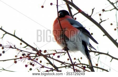 Birds In Winter In The Cold. An Ordinary Red Bullfinch Eats Berries In The Snow. Surveillance Of Wil