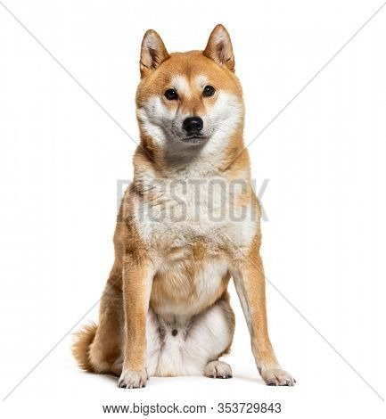 Akita inu, isolated on white