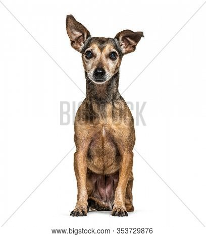Old Sitting Miniature Pinscher graying, isolated on white