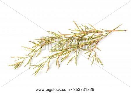 Flower Citronella Grass. Studio Shot Isolated On White