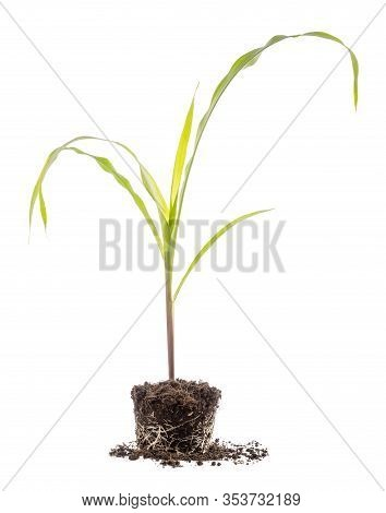 Young Green Sprout Of Corn Tree Growing In Soil Isolated On White  Background. Growing And Environme