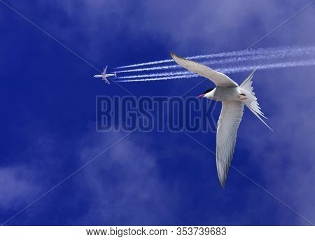 Common Tern And A Jetliner On A Bright, Blue Sky.